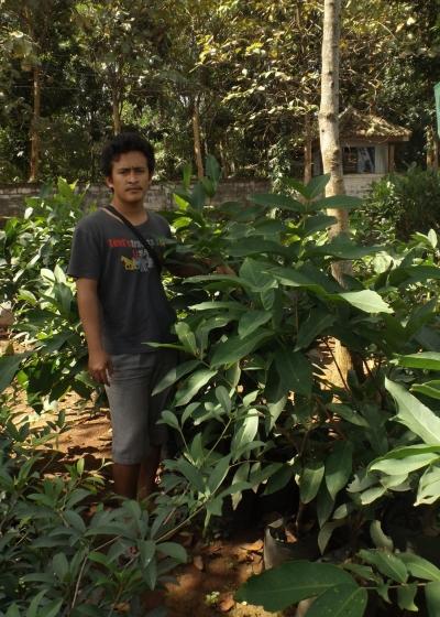 Bibit Tanaman Jambu Air Dalhari 45cm Up Bibit Buahku