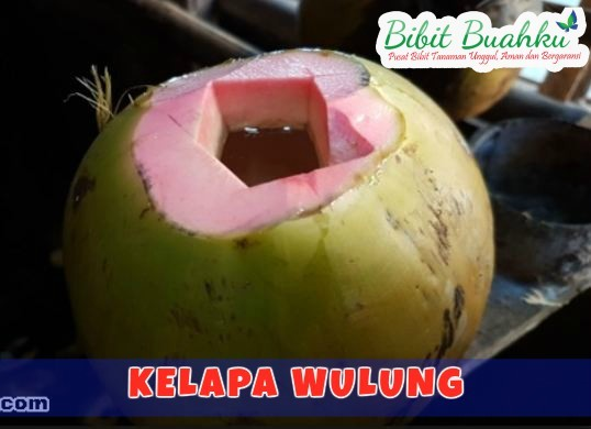 Bibit Kelapa Wulung – Jenis Kelapa Unggul Dengan Banyak ...