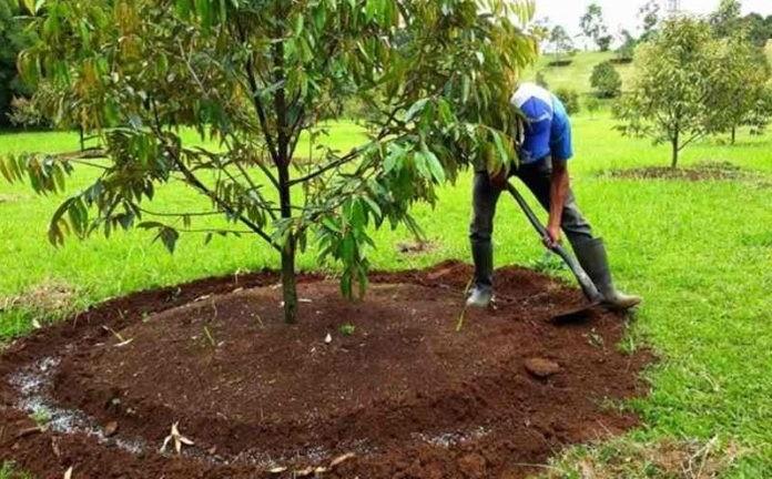 Cara Merawat Durian Agar Cepat Berbuah Bibit Buahku