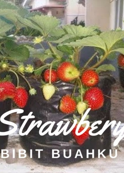 Jual Bibit Strawberry Jenis Buah Strawbery Manis Dan Berbuah Di Dataran Rendah Bibit Buahku