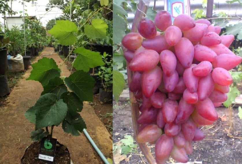 4 Langkah Merawat Tanaman Anggur Agar Tumbuh Subur Info Tanaman Buah
